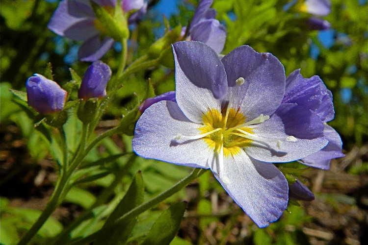 Purple jacob's ladder flower