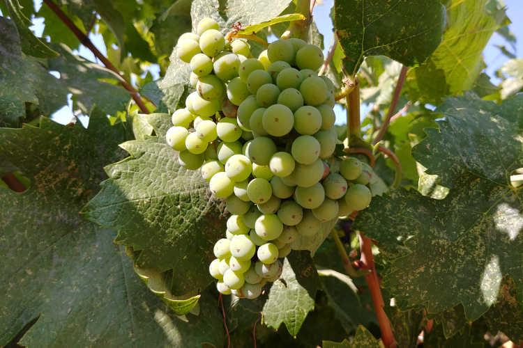 Unripe primitivo grapes at Cordi