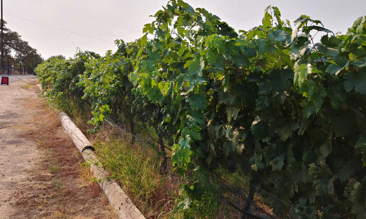 Vines protected with bird netting