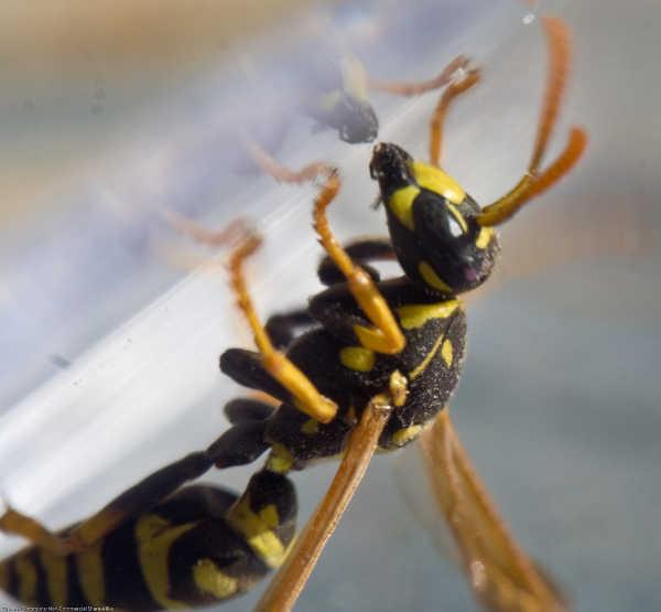 Wasp inside trap