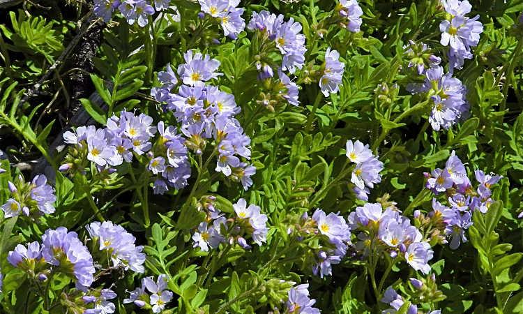 Lavender jacob's ladder