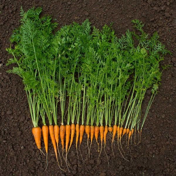 baby carrot harvest