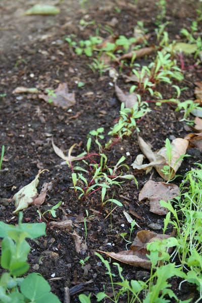 beet seedlings before thinning