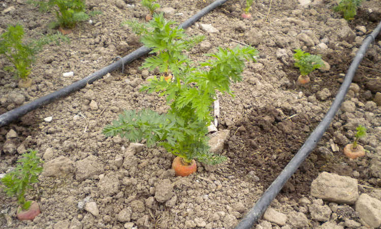 carrot in ground