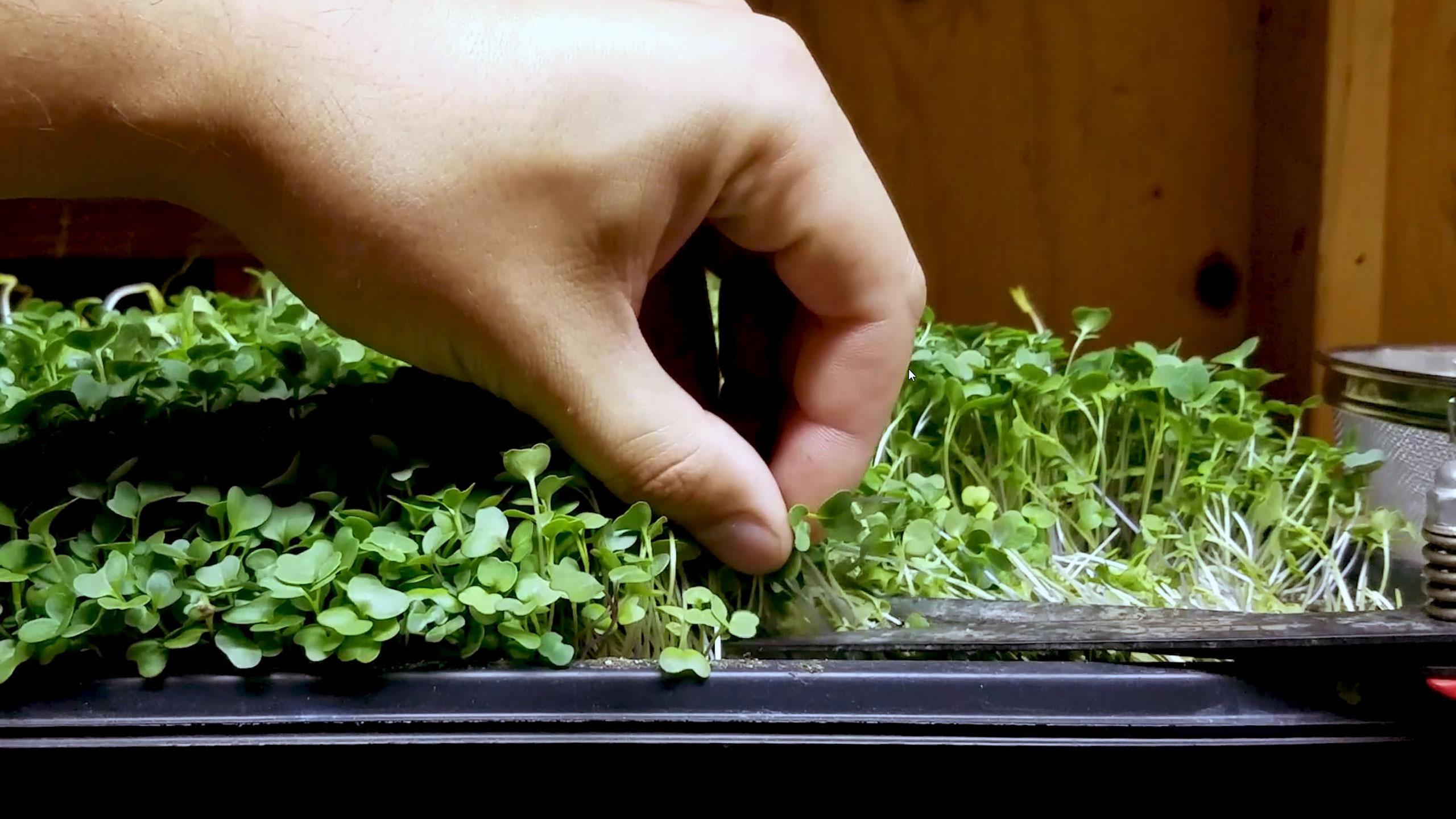 Harvesting Lettuce Microgreens