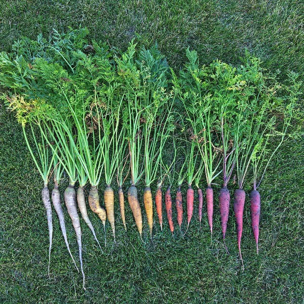 multiple colors of carrots