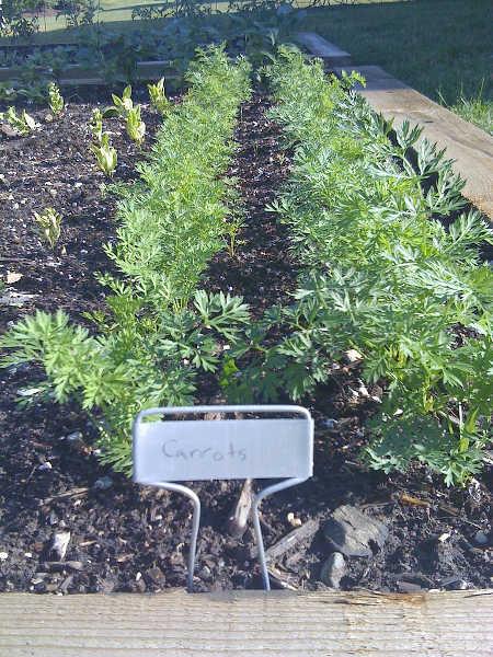 row of carrots