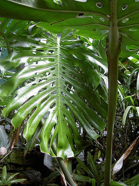 Monstera deliciosa leaf shape