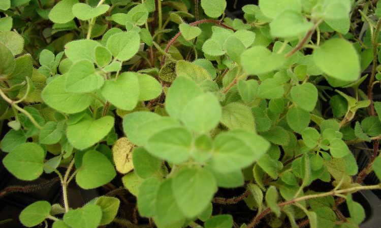 Origanum vulgare subsp hirtum