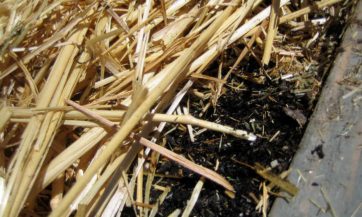 Straw mulch pulled back to show soil