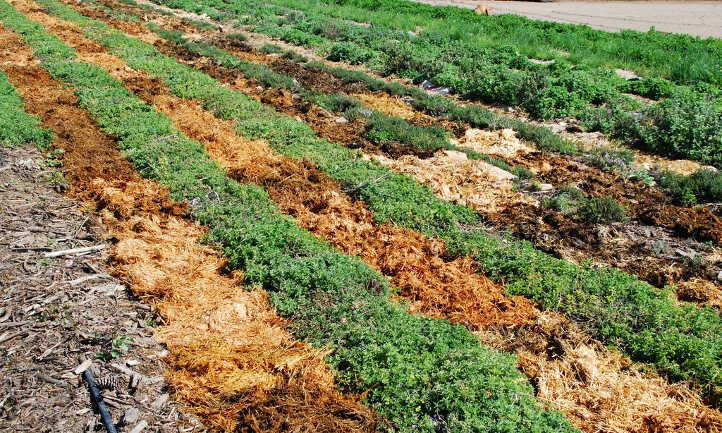 Straw mulched plants