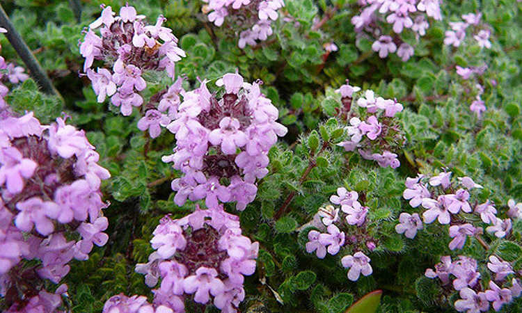 Heavy flowering on wooly thyme