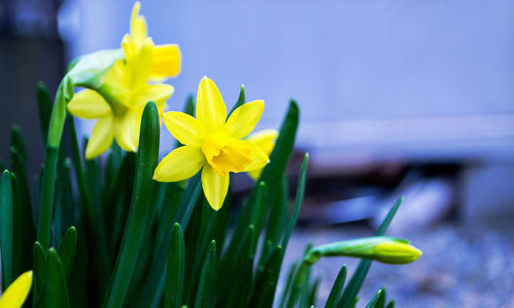 Bright yellow narcissus flowers