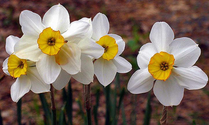 White narcissi with short coronas