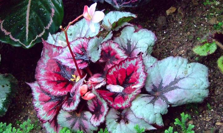 Rex Begonia 'Fire Works'