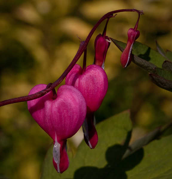 Dark pink bleeding hearts