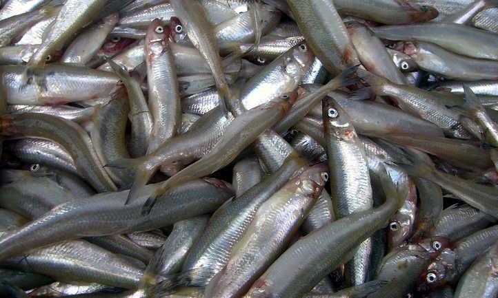 Fish for fertilizer