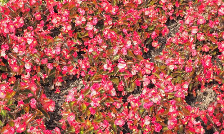 Wax begonia patch