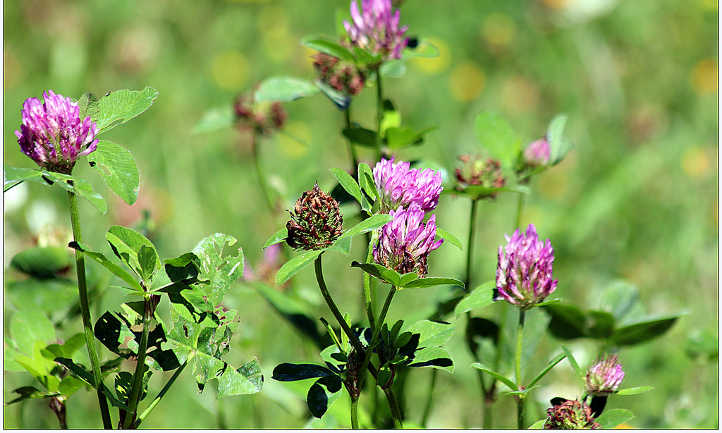 Alfalfa flowering