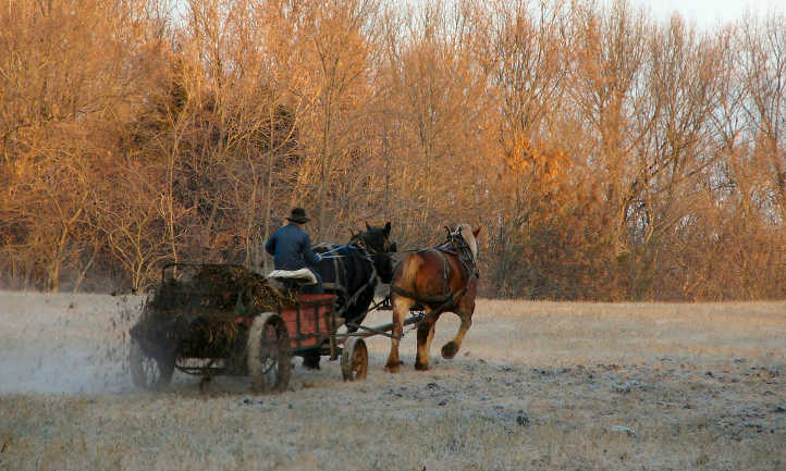 Moving horse manure by wagon