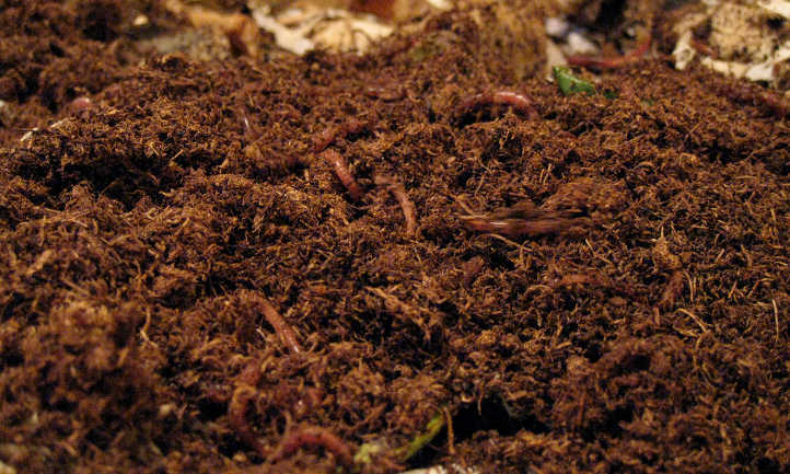 Red worms in coconut coir
