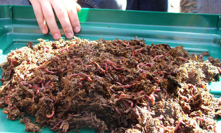 Worms in cow manure