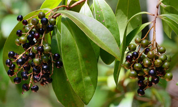 Ardisia escallonioides fruit