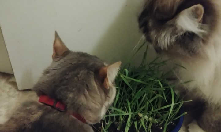 Cats eating cat grass