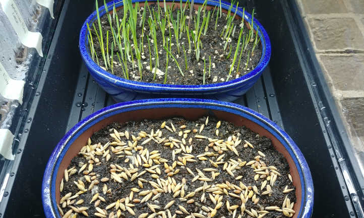 Two containers of cat grass