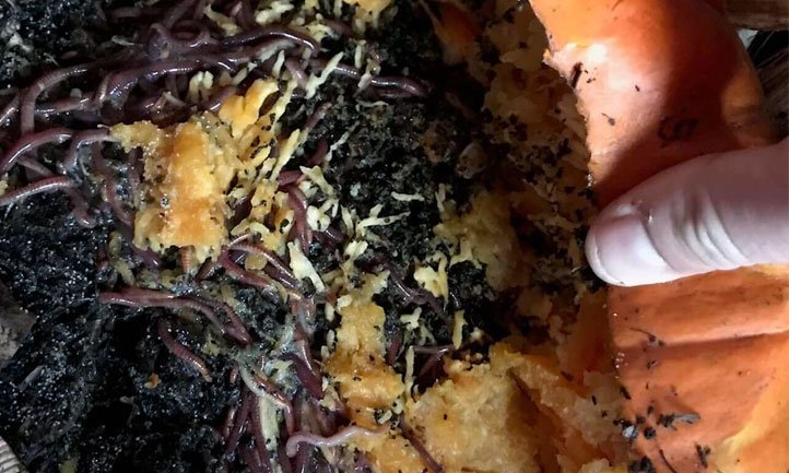 Composting worms absolutely devouring a pumpkin