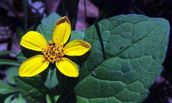 Golden Star Plant