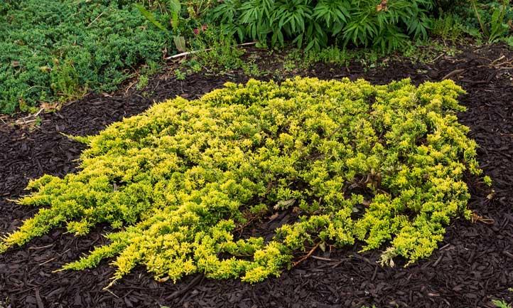 Juniper as a ground cover