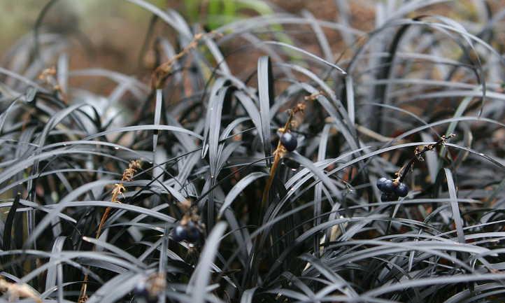 Black lilyturf