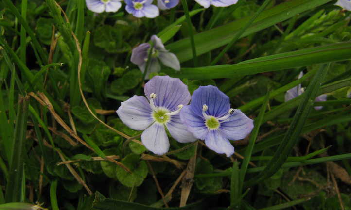 Creeping speedwell flowers in grass