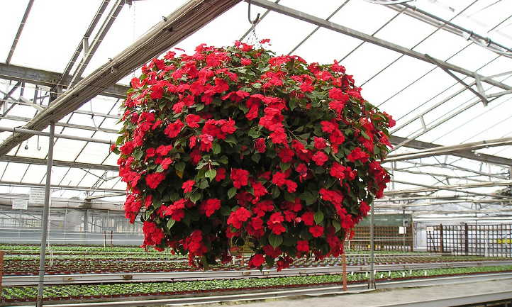 Hanging basket of busy lizzie