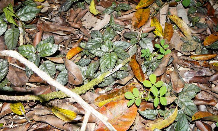 Hemigraphis alternara in jungle environment