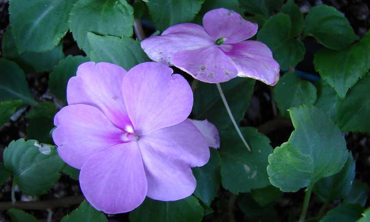 Lavender impatiens