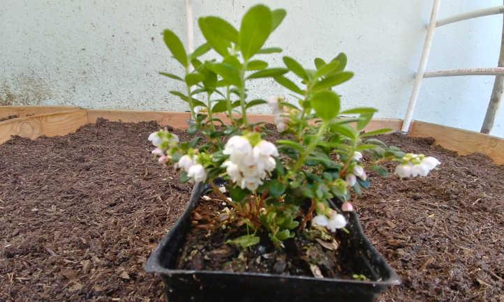 Lingonberry plant start