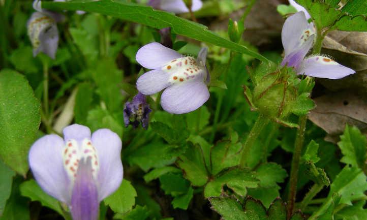 Mazus reptans flowers