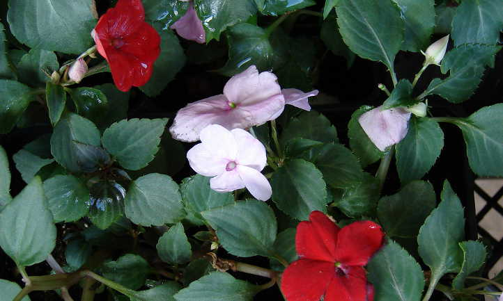 Red and pink impatiens