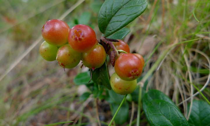 Unripe berries