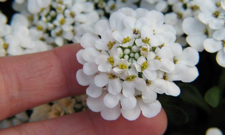 Closeup of candytuft flower