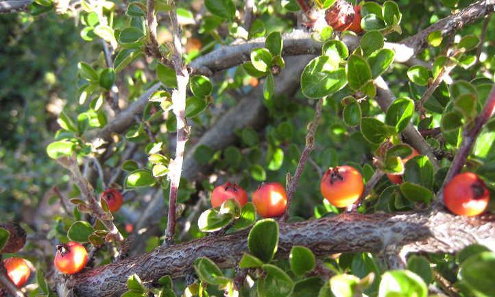 Unripe cotoneaster berries