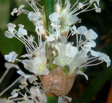 Basket plant flower