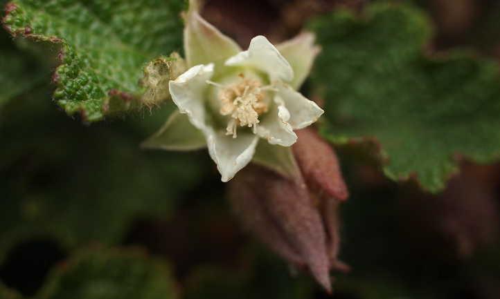 Close up of Rubus hayata-koidzumi flower