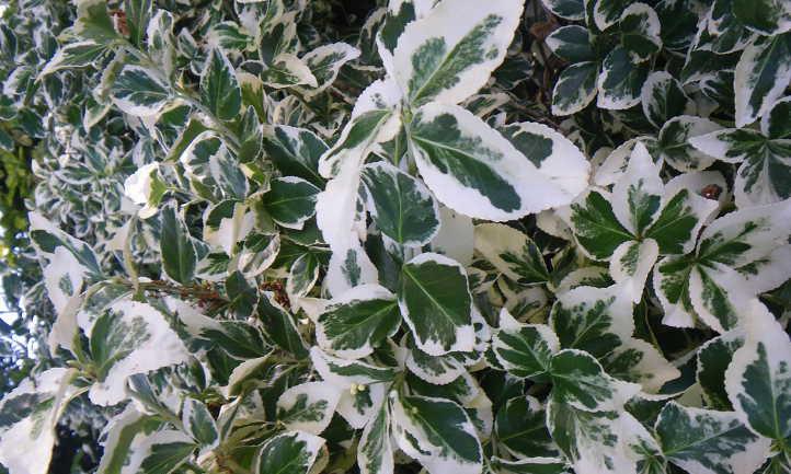 Euonymus fortunei 'Emerald 'n Gaiety'