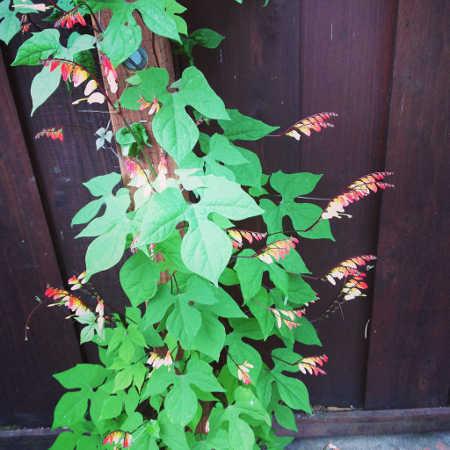 Fire vine growing