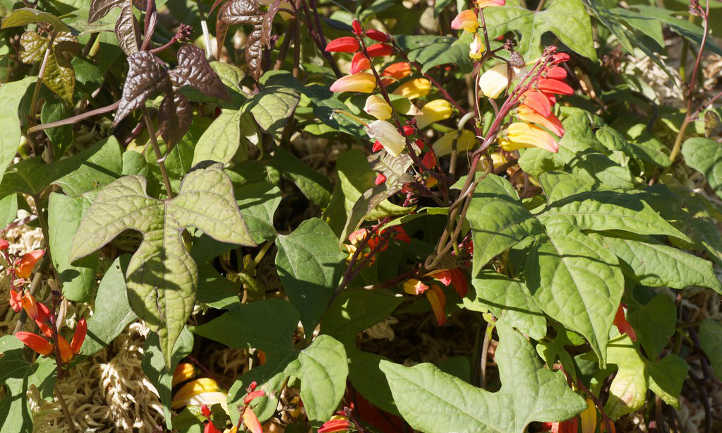 Ipomoea lobata leaves and racemes