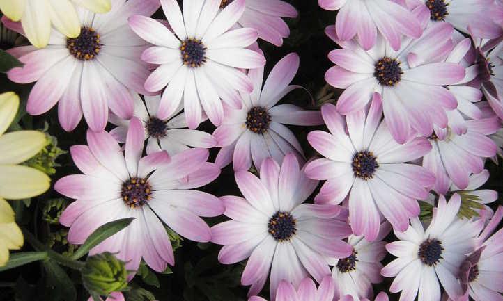 Multicolored cineraria flowers