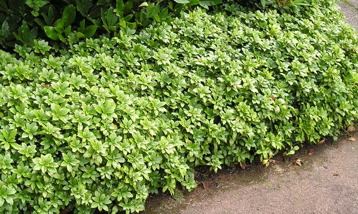 A hedge of pachysandra is an incredible way to add color to your border plants